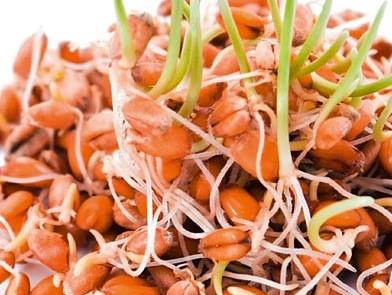 Weizen Sprossen