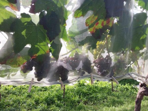 Schützt auch Obstkulturen
