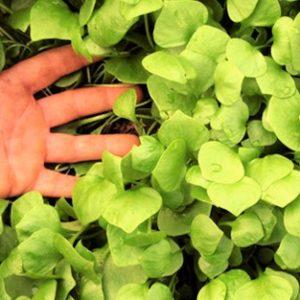 Salat Winterpostelein