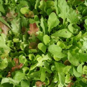Salat Misticanza