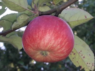 Apfel Roter Berlesch