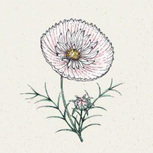 Cosmos bipinnatus 'Cupcake Blush' (Kosmee)