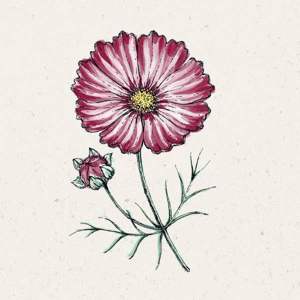 Cosmos bipinnatus 'Velouette' (Kosmee)