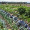 Gemüsegarten mieten in Berlin Wartenberg