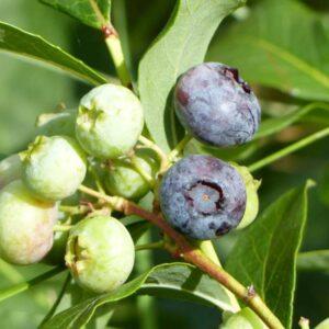 Großes Bio Heidelbeeren Strauchpaket