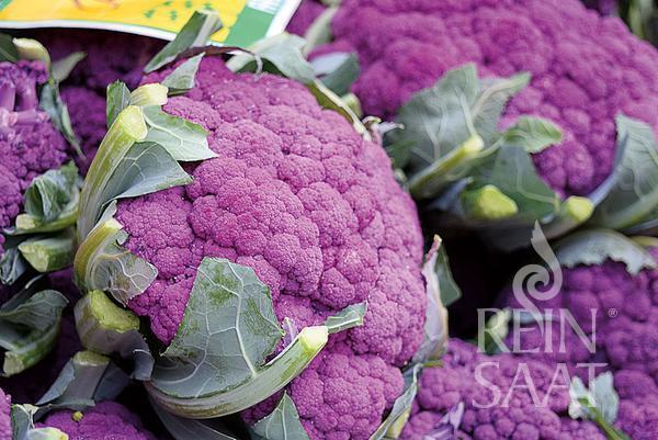 Blumenkohl Violetto di Sicilia