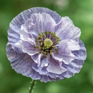 Papaver rhoeas Amazing Grey ( Klatschmohn )