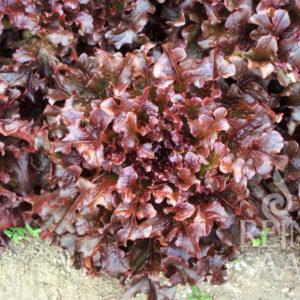 Salat - Eichblattsalat Red Salad Bowl