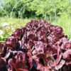 Salat - Romanasalat Rosha