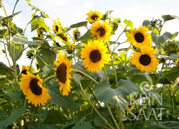 Sonneblume Henry Wilde