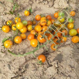 Tomate Gelbe Johannisbeere