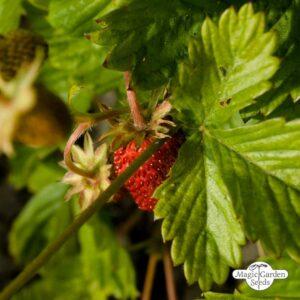 Wilderdbeere
