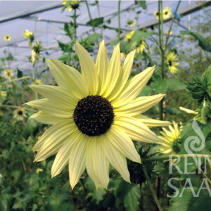 Sonnenblume Italian White