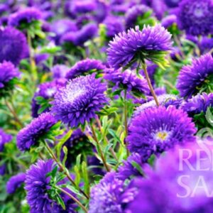 Sommerastern dunkelblau