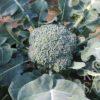 Broccoli Limba