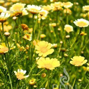 Chrysantheme, Speisechrysantheme
