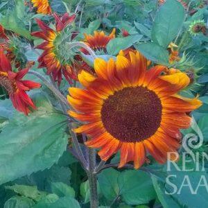 Sonnenblume Velvet Queen