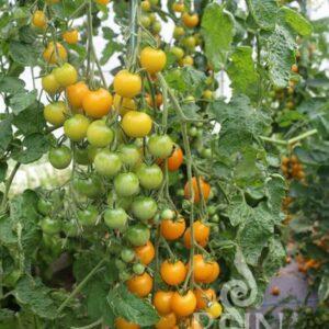 Tomate Goldkrone