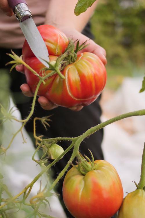 Tomaten im Herbst ernten