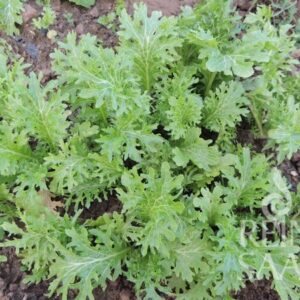 Wasabino Asia Gemüse